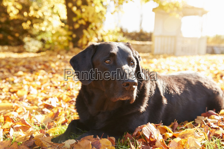 elderly black labrador dog lying by