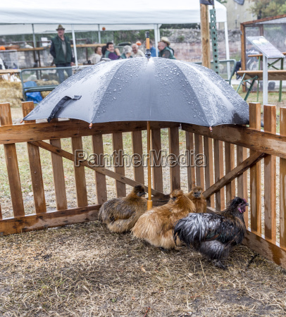 three chicken under an umbrella in