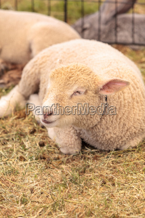 young lamb sheep rests in a