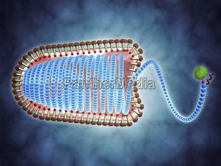 conceptual image of lyssavirus lyssavirus is