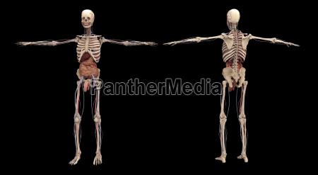 3d rendering of human skeleton with
