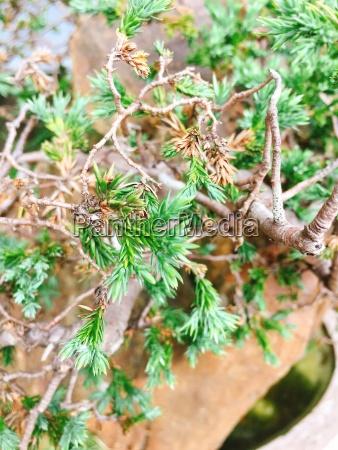 bonsai pine tree in garden