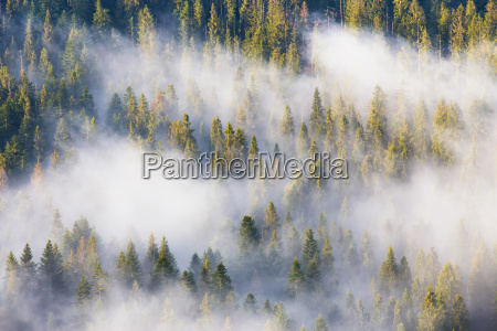 majesty of nature misty coniferous forest