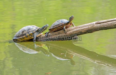 yellow bellied turtles on deadwood in