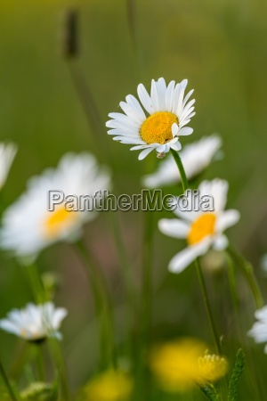 beautiful white daisy growing in a