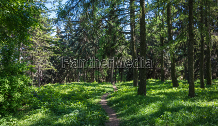 footpath in the summer wood