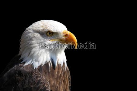 white headed eagle haliaeetus leucocephalus