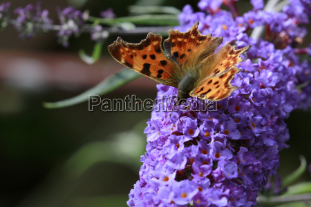 butterfly little fox
