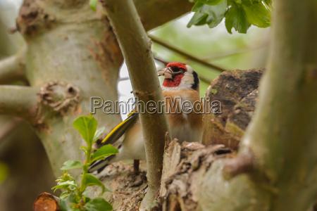 distelfink at nest building