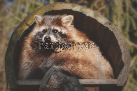 a little racoon looks out of