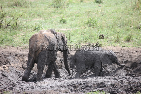 wild elephant elephantidae in african botswana