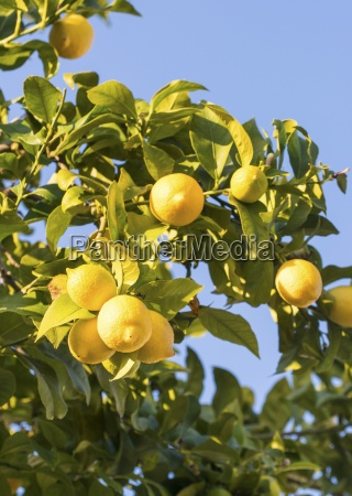 lemons from the alentejo region in