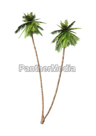 3d rendering coconut palm trees on