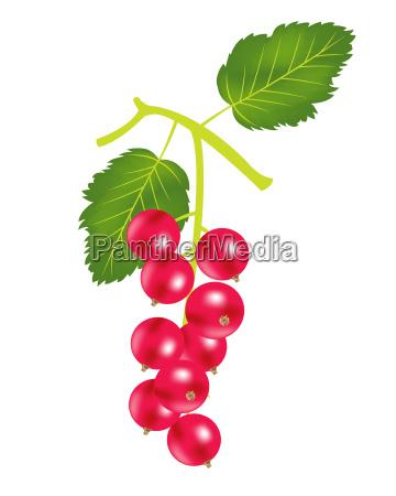 berry wood sorrel on white background