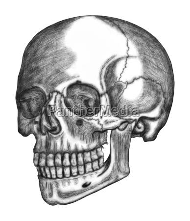 illustration of human skull isolated on