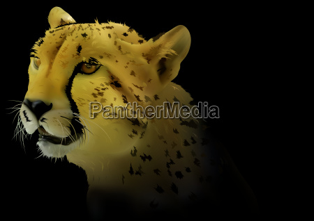 cheetah on black background