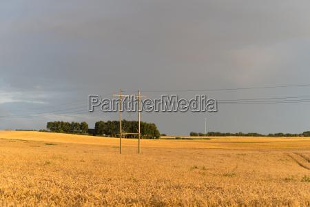 wheat field in denmark