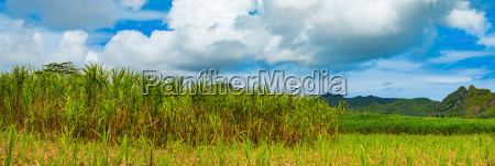 view of a sugarcane and mountains