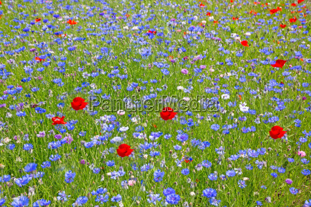 flower meadow with cornflowers and poppies