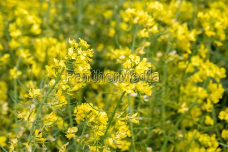 canola flower on blurred background