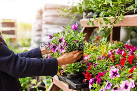 woman chooses petunia flowers at garden