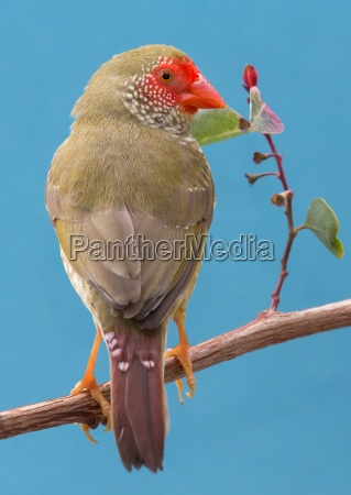pretty star finch from australia