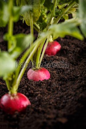 growing radish plant