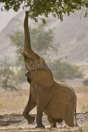 desert elephant reaching for browse loxodonta
