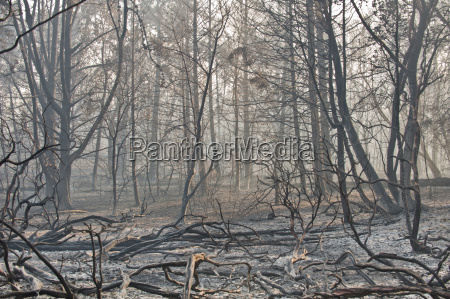 burned trees after wildfire bonny doon
