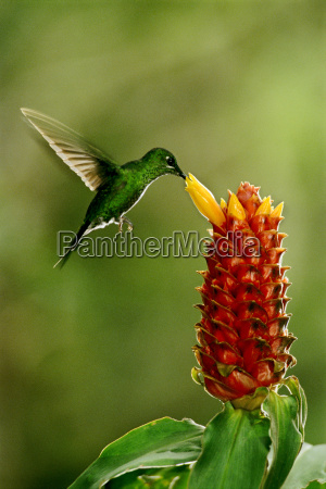 green crowned brilliant hummingbird heliodoxa jacula