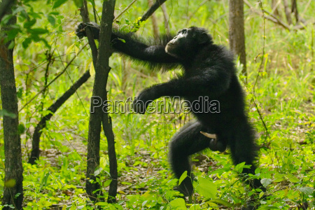 chimpanzee male with erect penis expressing