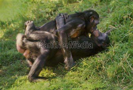 female bonobos rubbing genitals pan paniscus