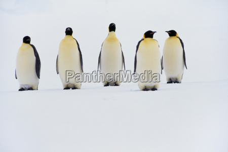 penguins live in large colonies in