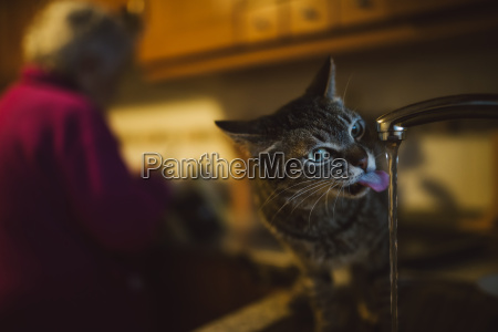 tabby cat drinking water from the