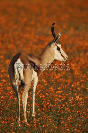 springbok antidorcas marsupialis among orange wildflowers