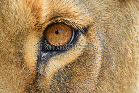 eye of the lioness extreme close