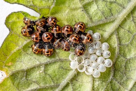 slipping ladybug larvae with eggs