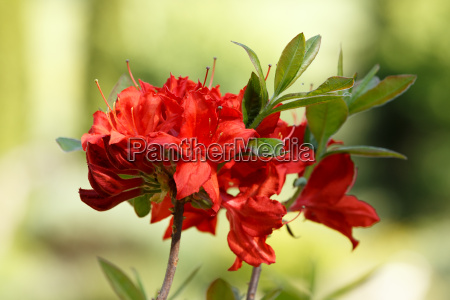 red rhododendron azalea blooms in spring