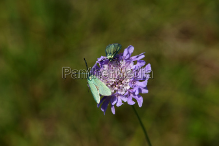 ache widows flower knautia arvensis with