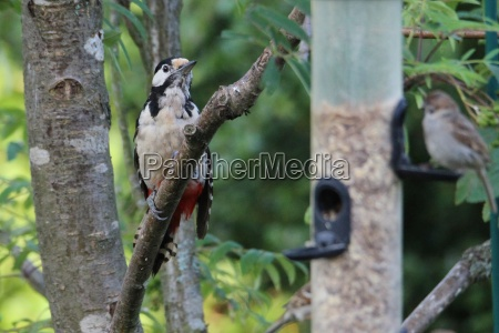 the spotted woodpecker on the way