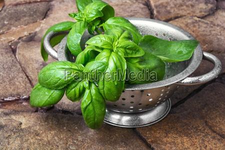fresh green basil leaves