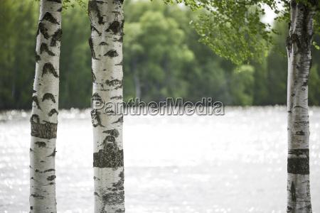birch tree trunks close up