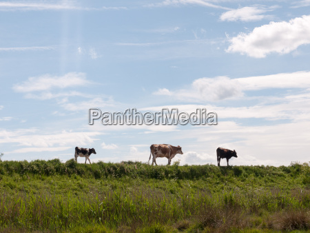 three cows in the distance walking