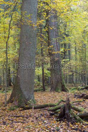 old oak trees broken lying in