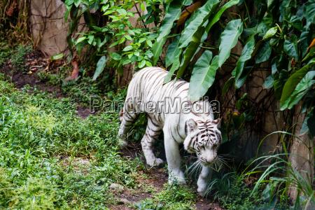 white tiger panthera tigris tigris
