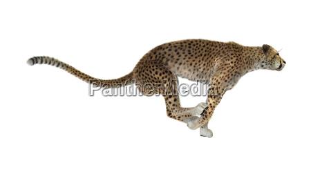 3d rendering cheetah on white