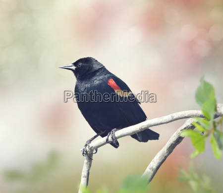 red winged blackbird male