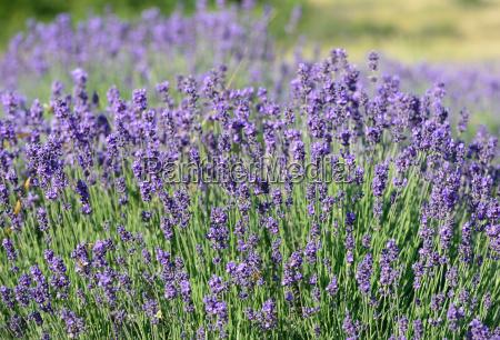 violet levander bunch