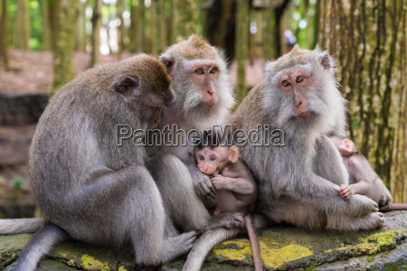 macaque monkeys with cubs at monkey