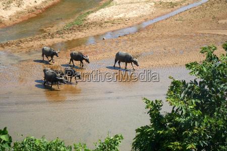 a herd of water buffalos in